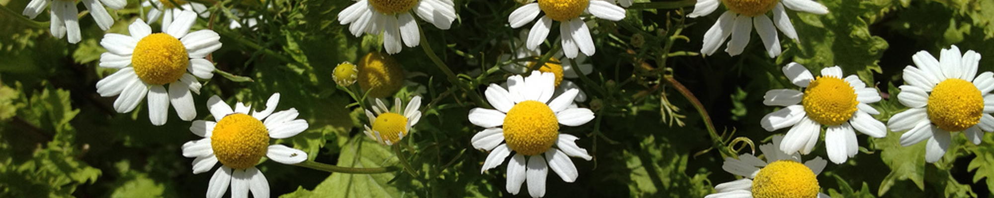 Chamomile_German