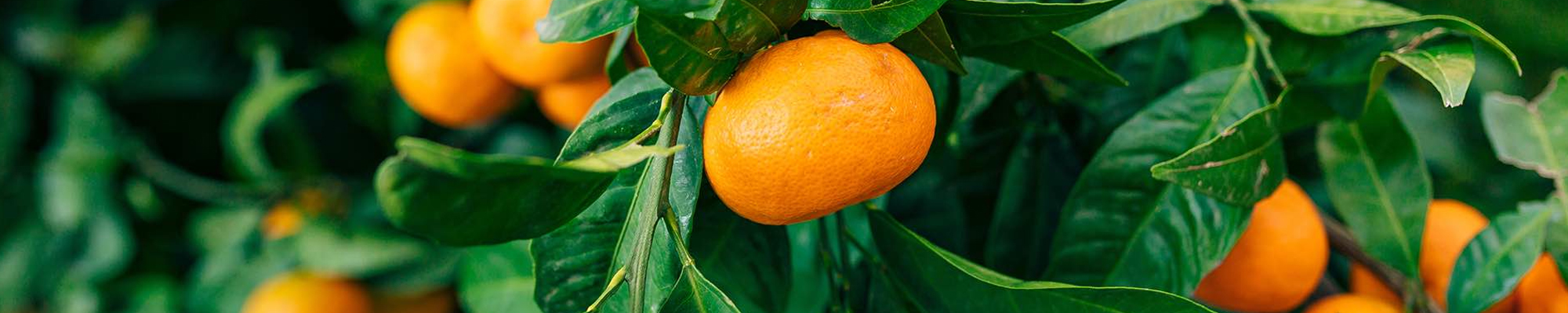 Mandarin_Fruit