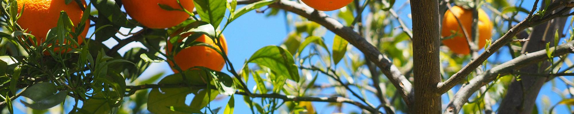 Petitgrain (Orange Tree)