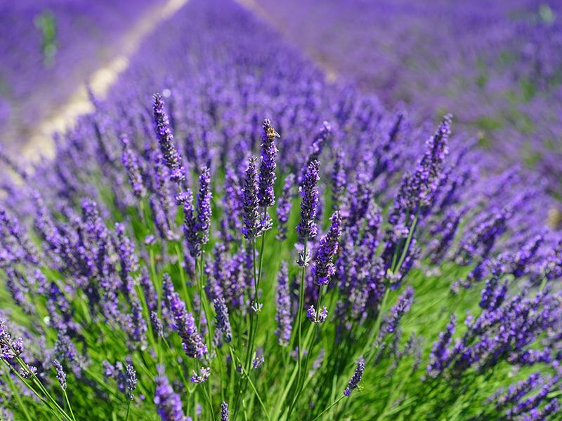 Aromantique_Lavender