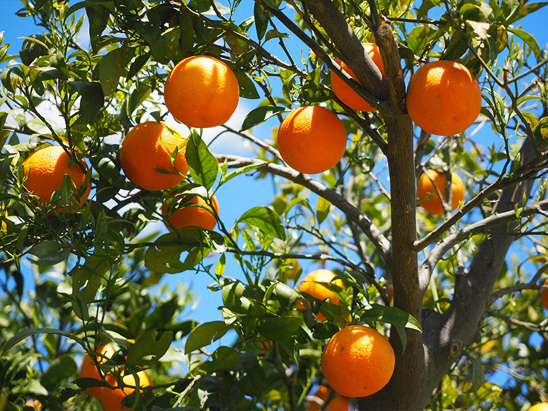 Petitgrain (Orange Tree)