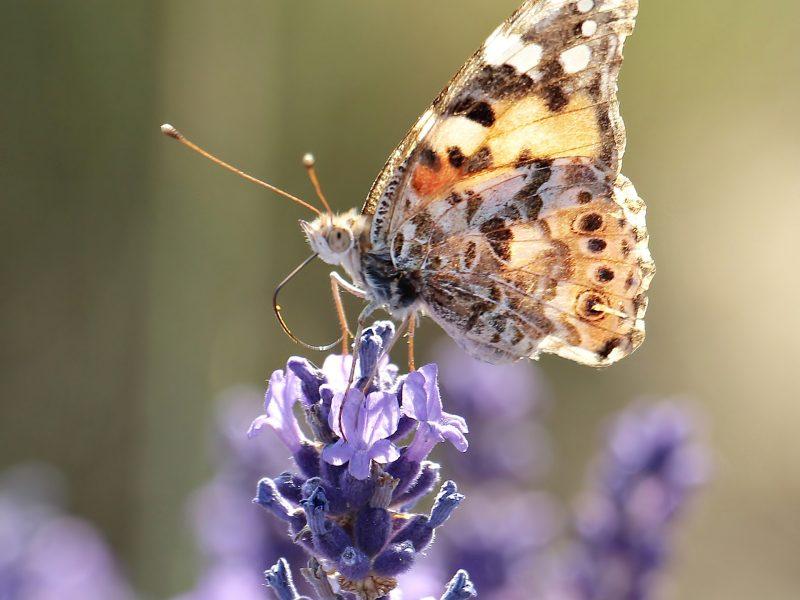 lavender-2426381_1920